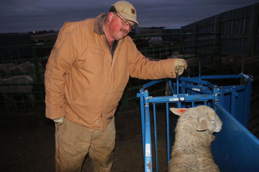 Shepherds again: Families mix lamb and off-farm goals