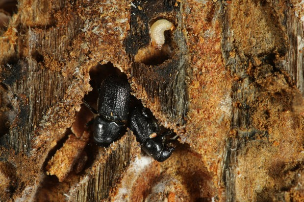What Is A Mountain Pine Beetle