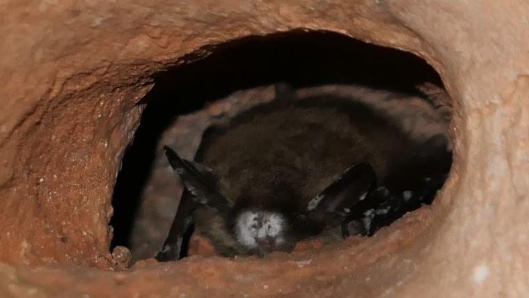White-nose syndrome found in bats at Wind Cave National Park | Local | rapidcityjournal.com