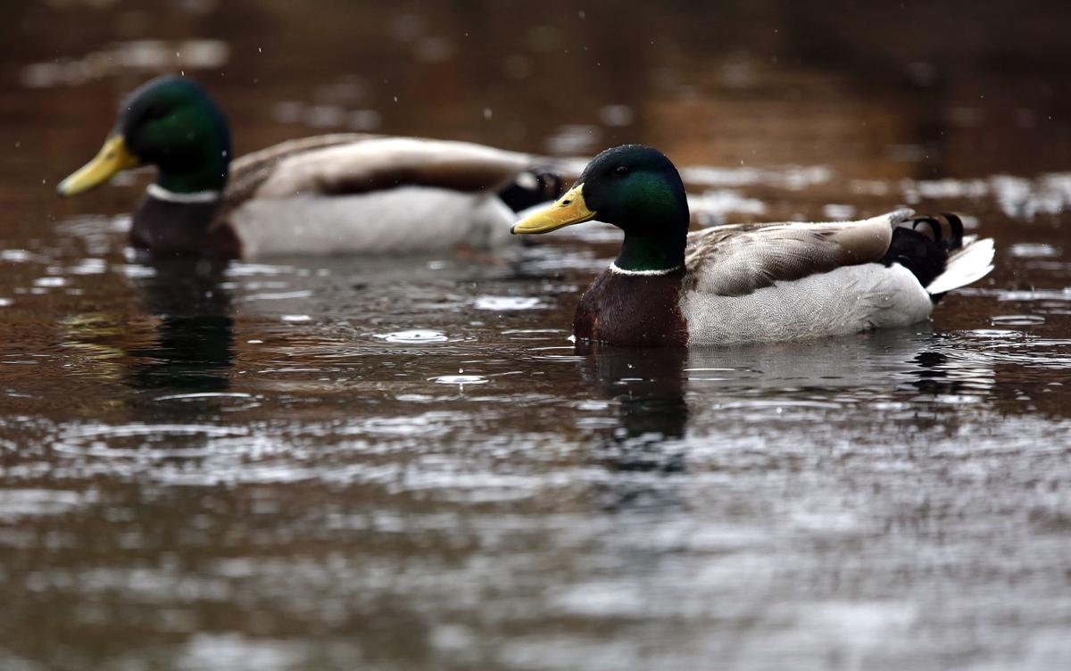 State looks to open non resident waterfowl licenses for South dakota non resident fishing license