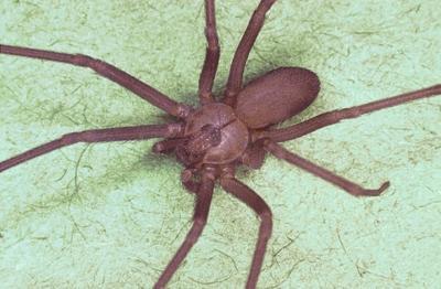 Non-native spiders cause problems | News | rapidcityjournal com