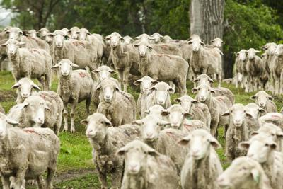 Sheep being used to treat neurological diseases