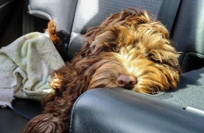 Looking to Take a Road Trip with Your Pet?  Tips to Make it Worry-Free (image)