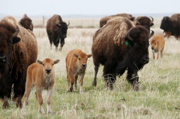 052712-nws-bison bill