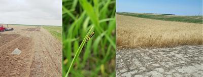 Sawfly Populations