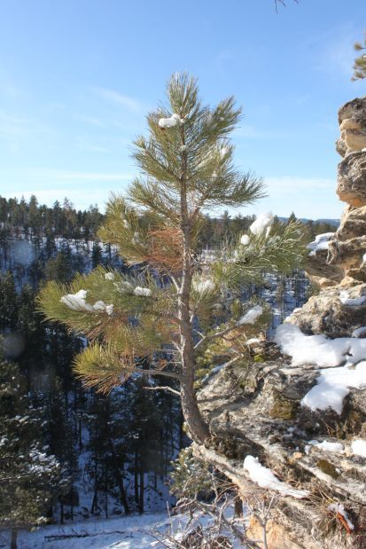 Outdoors Observing And Collecting Trees For Bonsai Provides More - Black hills spruce bonsai trees