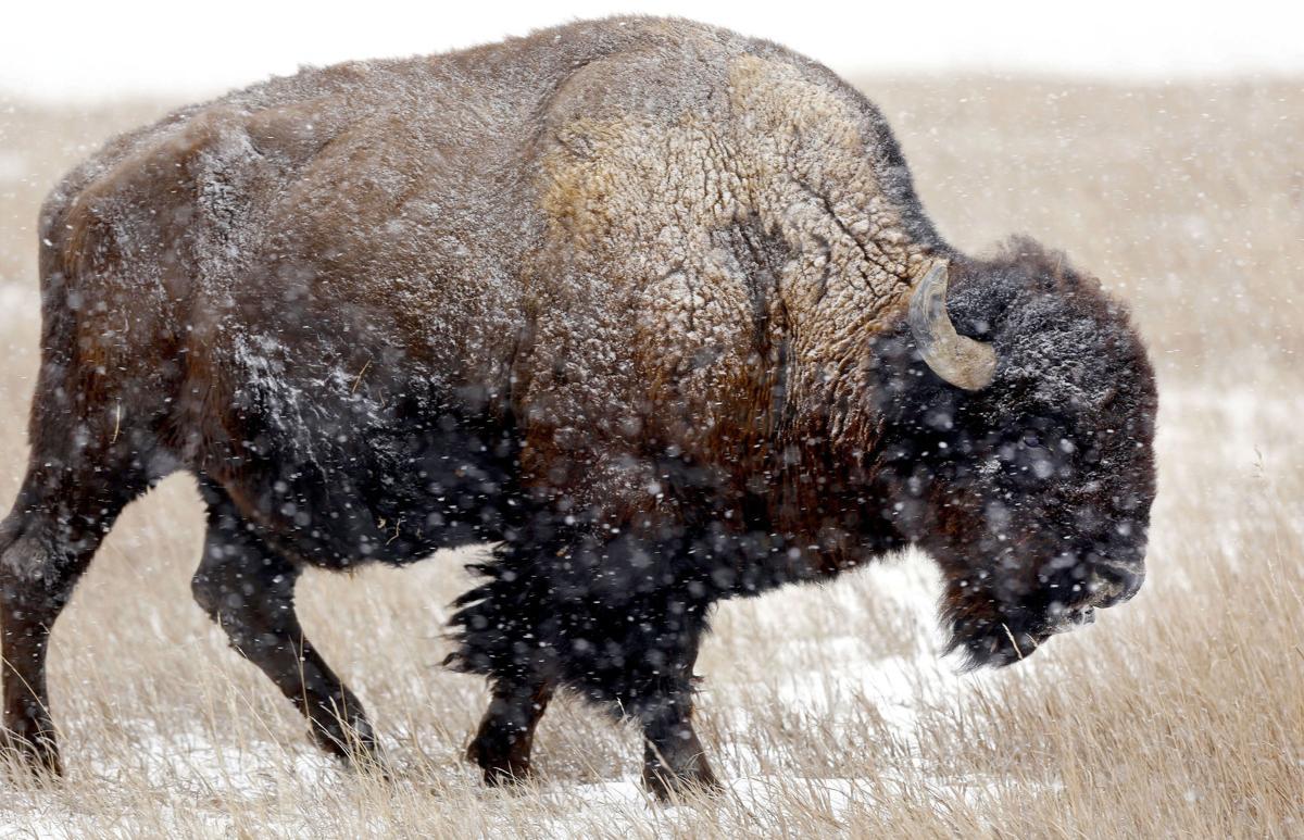 121316-nws-bison001.JPG (copy)