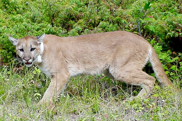 Used Cars For Sale In Chicago >> GF&P raises mountain lion estimate in Black HIlls
