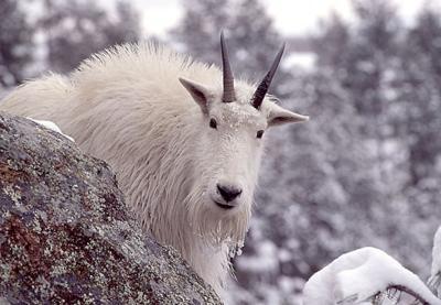 Mountain Goat Nanny01.jpg