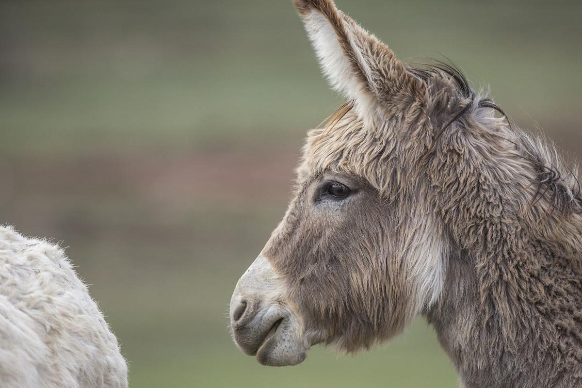 042718-nws-burros001.jpg