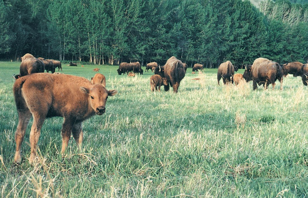bison calf herd
