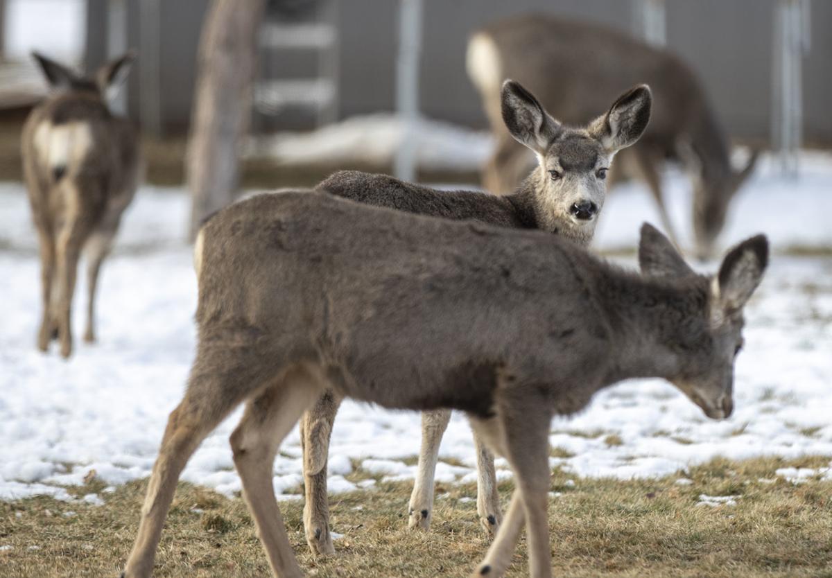 121218-nws-deer002.jpg