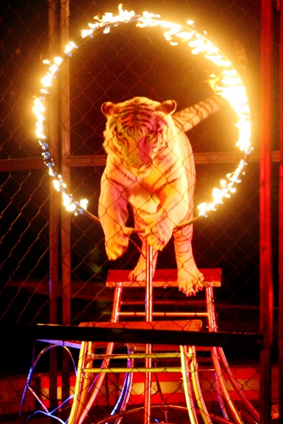 Animal acts and acrobats entertain at circus | News ...