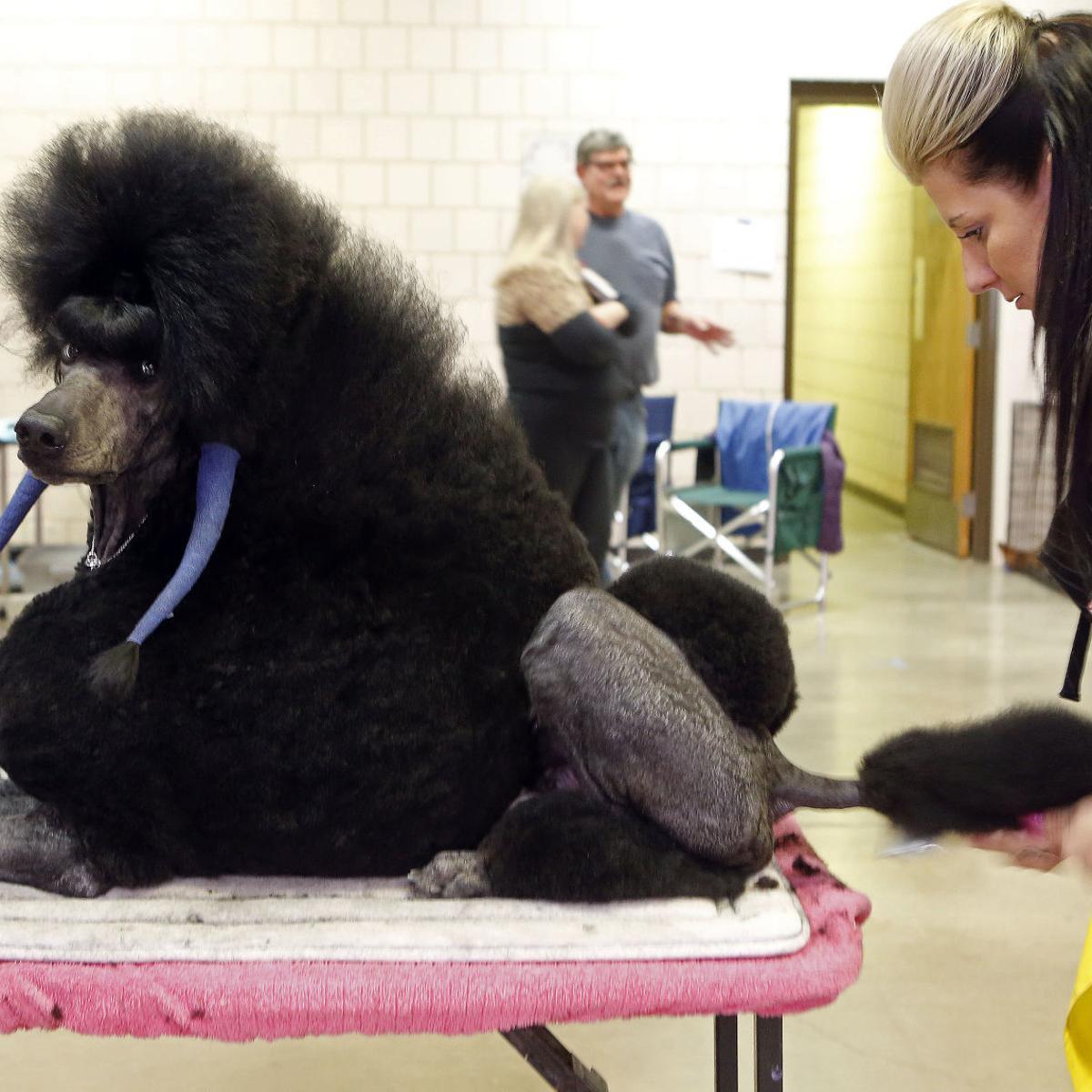 23+ Standard Poodle Dog Show