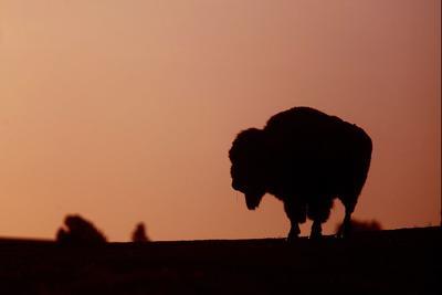 042615-nws-bison001 (copy)