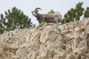 Pneumonia threatens success of bighorn sheep introduction near Deadwood