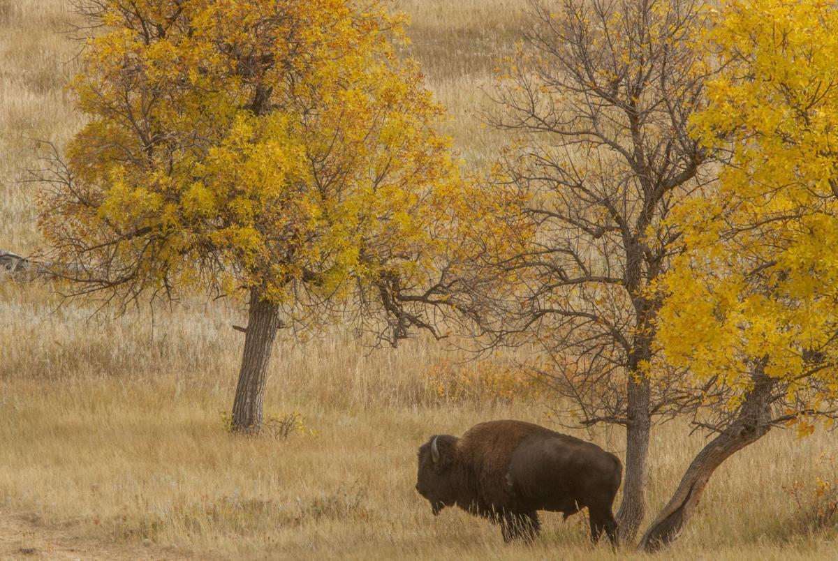 52nd annual Buffalo Roundup