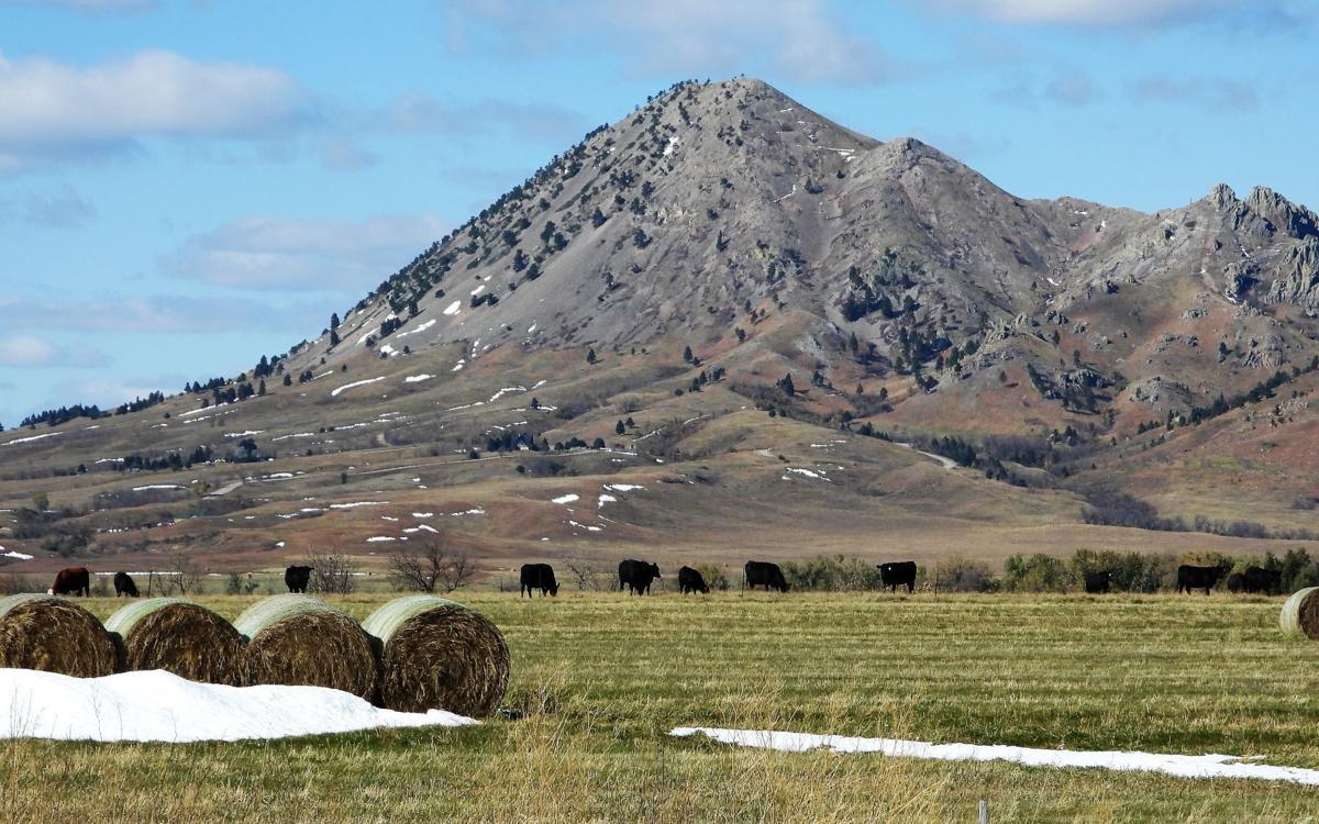 Cattle grazing