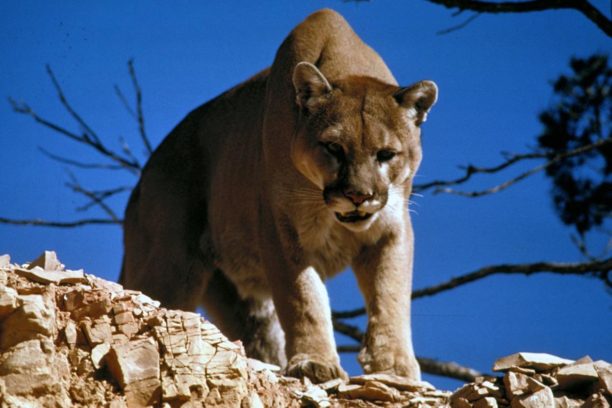 lion (copy)
