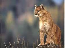 mountan lion