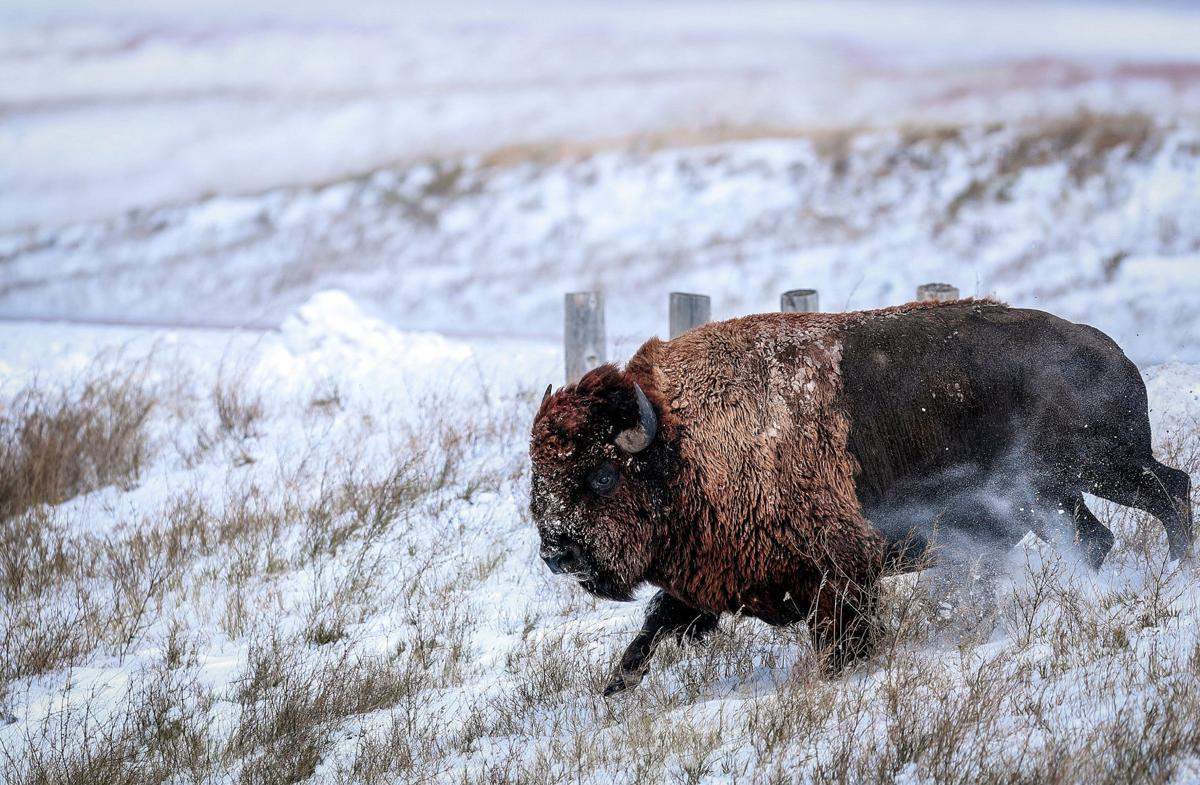 Badlands Bison Release
