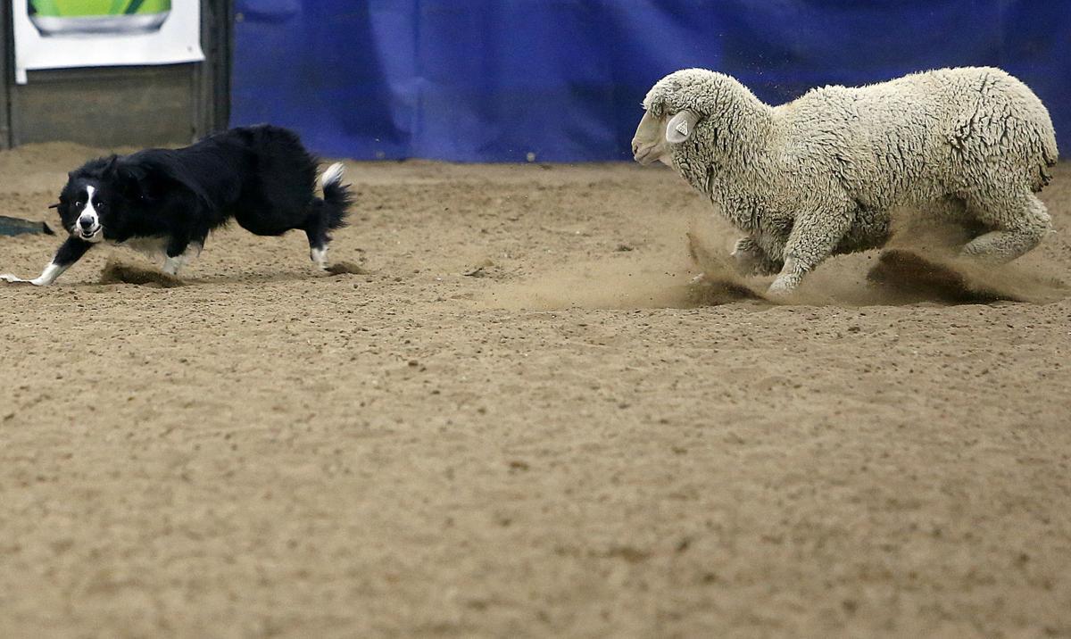 photos of sheep