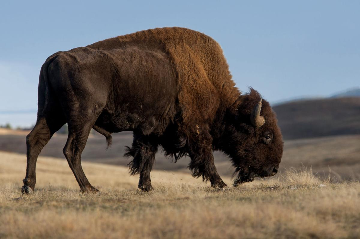 110216-nws-bison 002.jpg (copy)