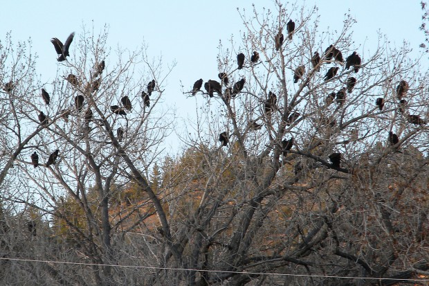 Dead Birds Used To Disperse Large Flock Of Vultures