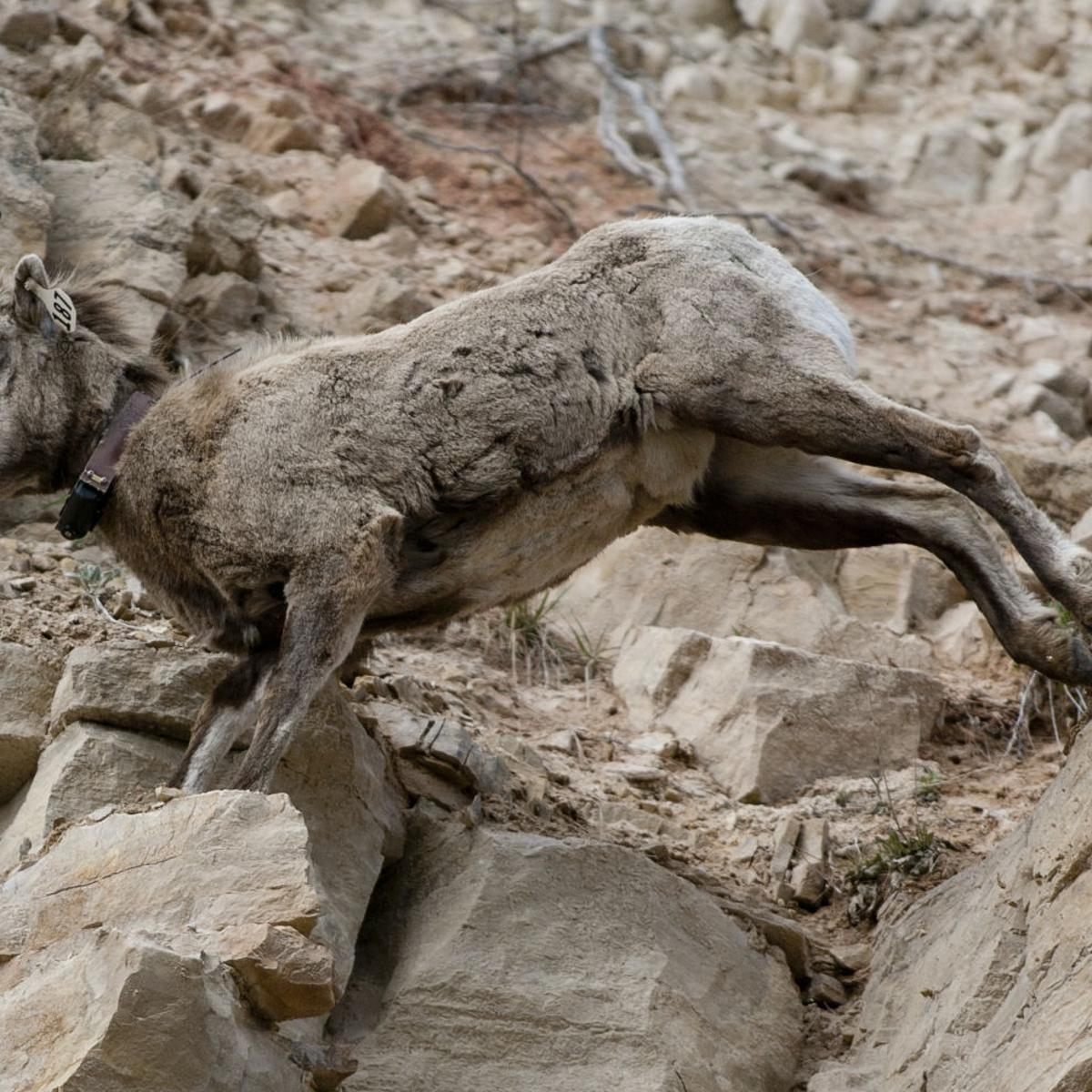 GF&P concerned after third bighorn sheep dies of pneumonia