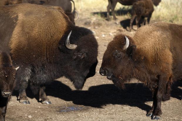 092613-nws-buffalo002.jpg