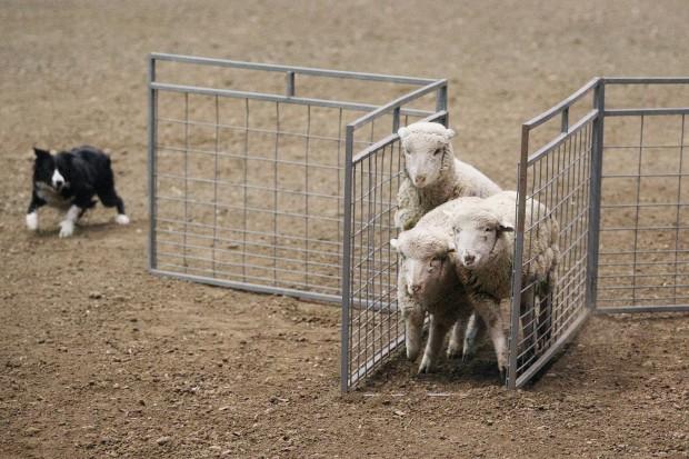 013012.sheep_dog2