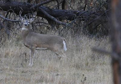 Custer State Park deer