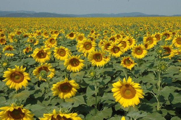 012016-bcp-sunflower
