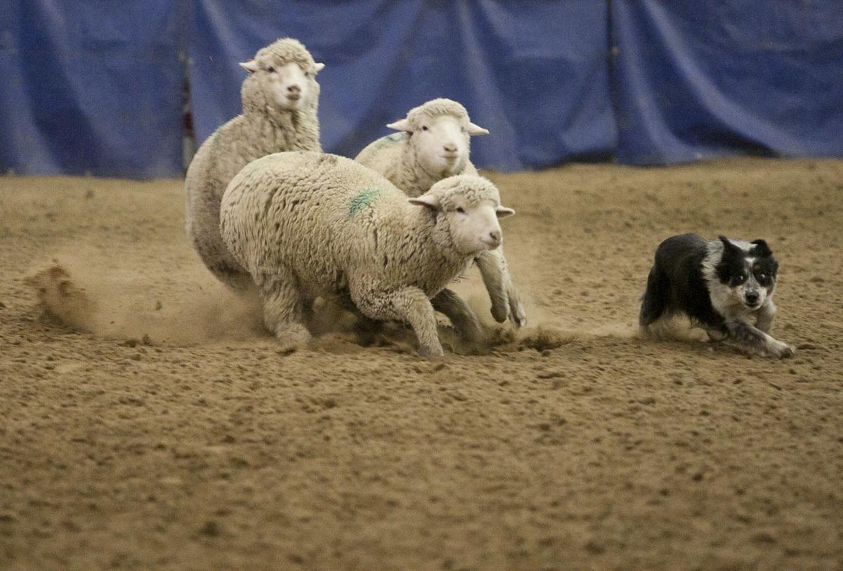 012319-bhs-sheep