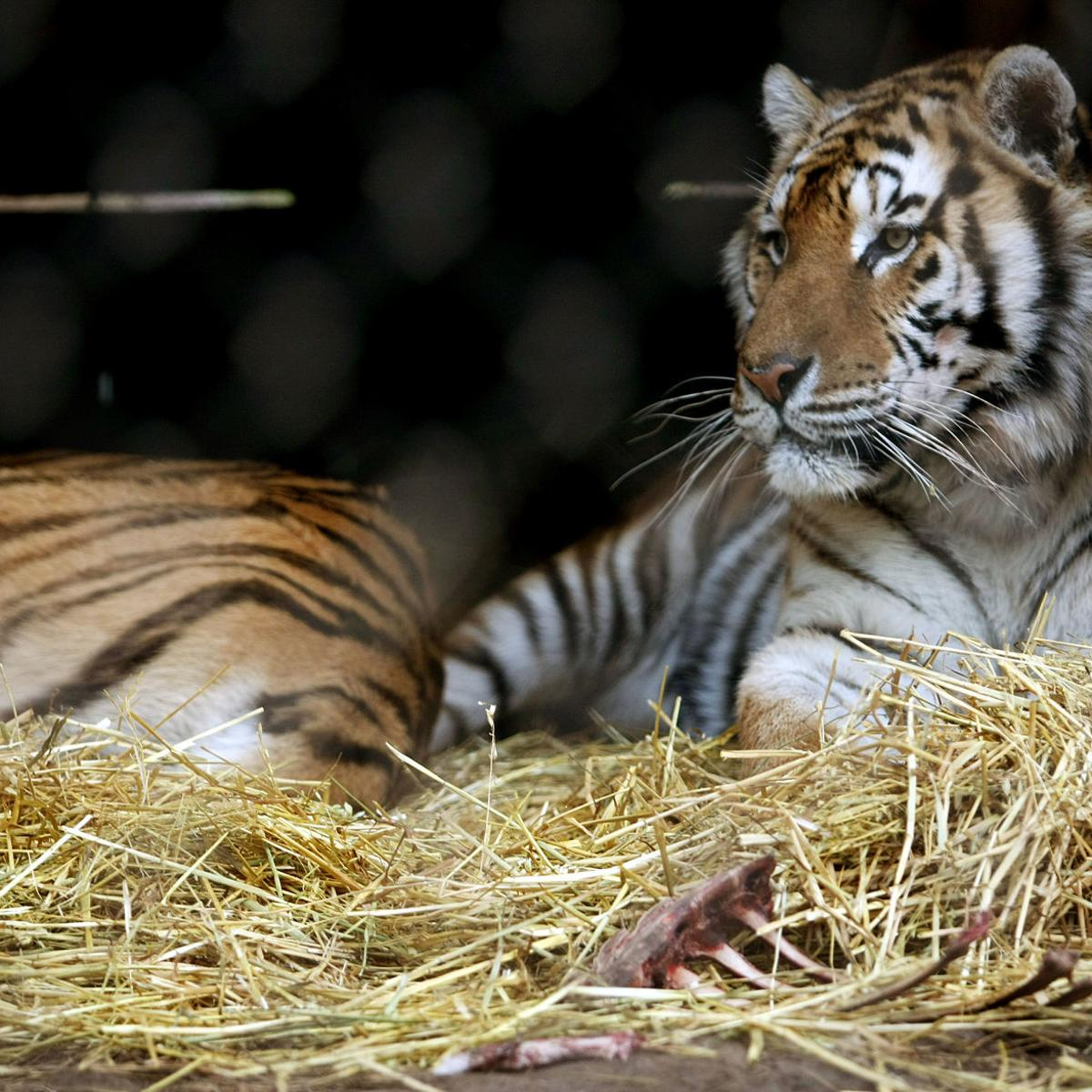 After tiger attack, 18 animals removed from Spearfish