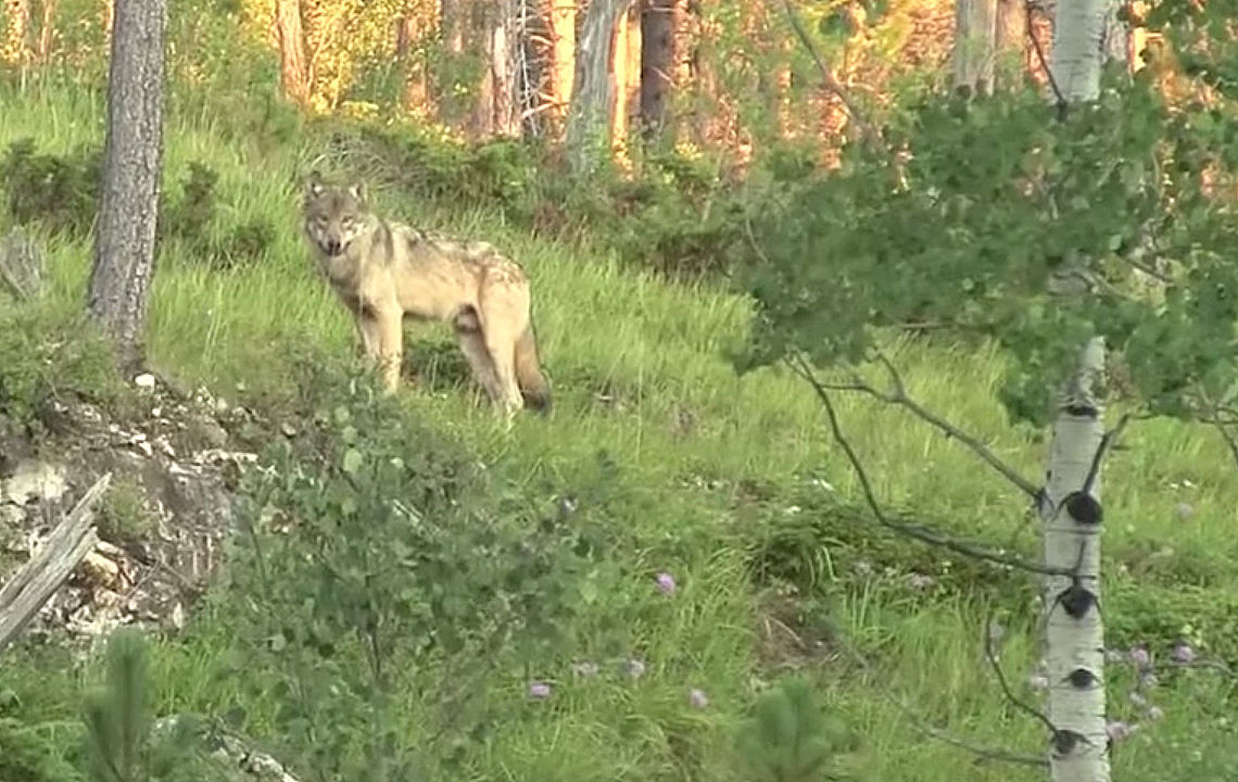 Wolf standing pdf last