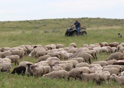 072119-nws-sheep