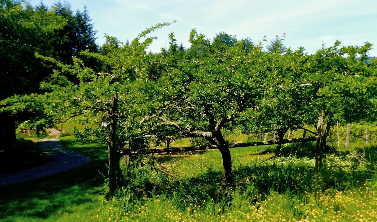 Backyard Mini Orchards Smaller Apple Trees A Popular Option Rapidcityjournal Com