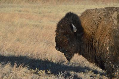 Image result for Bison are back, and that benefits many other species on the Great Plains