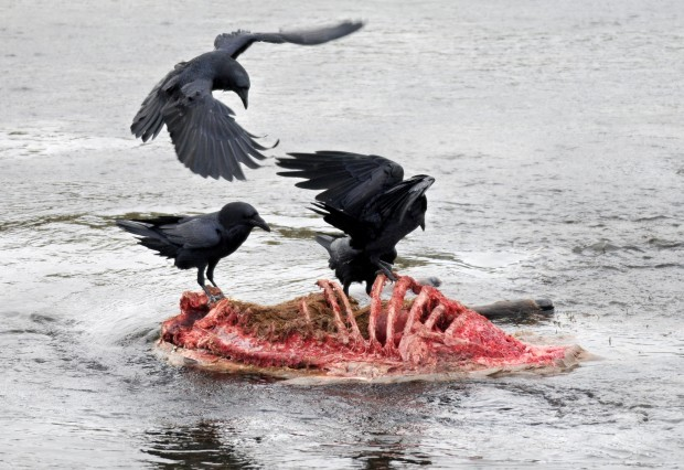 Crows feed on an elk carcass