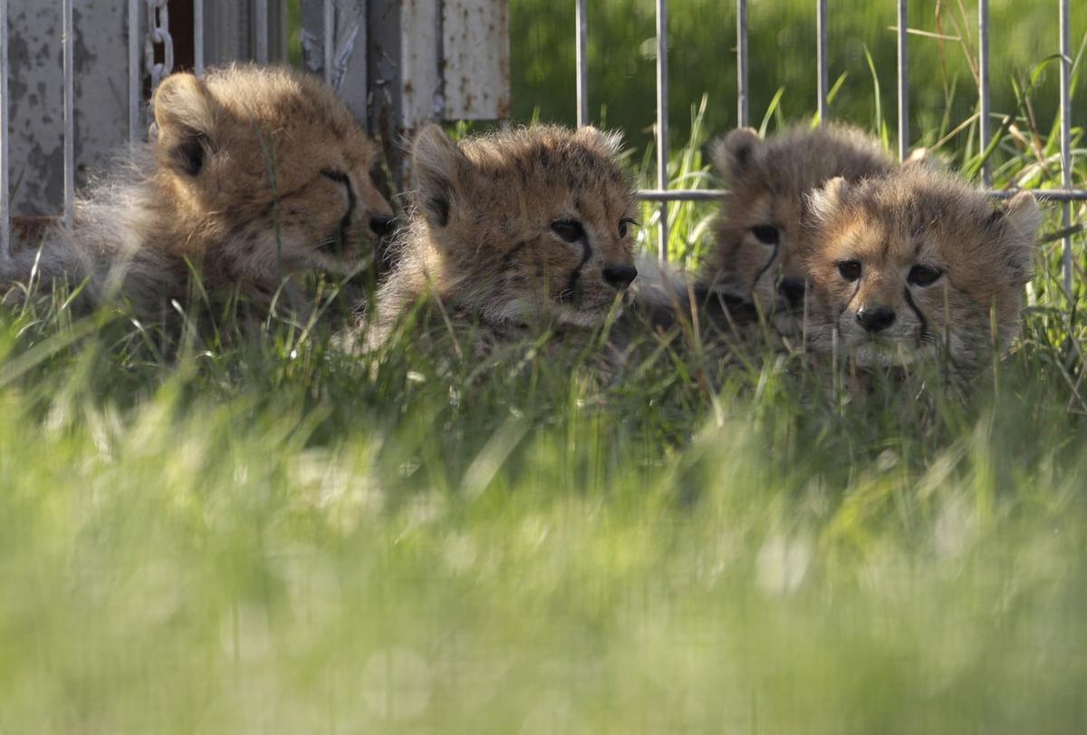 Czech Republic Baby Cheetah