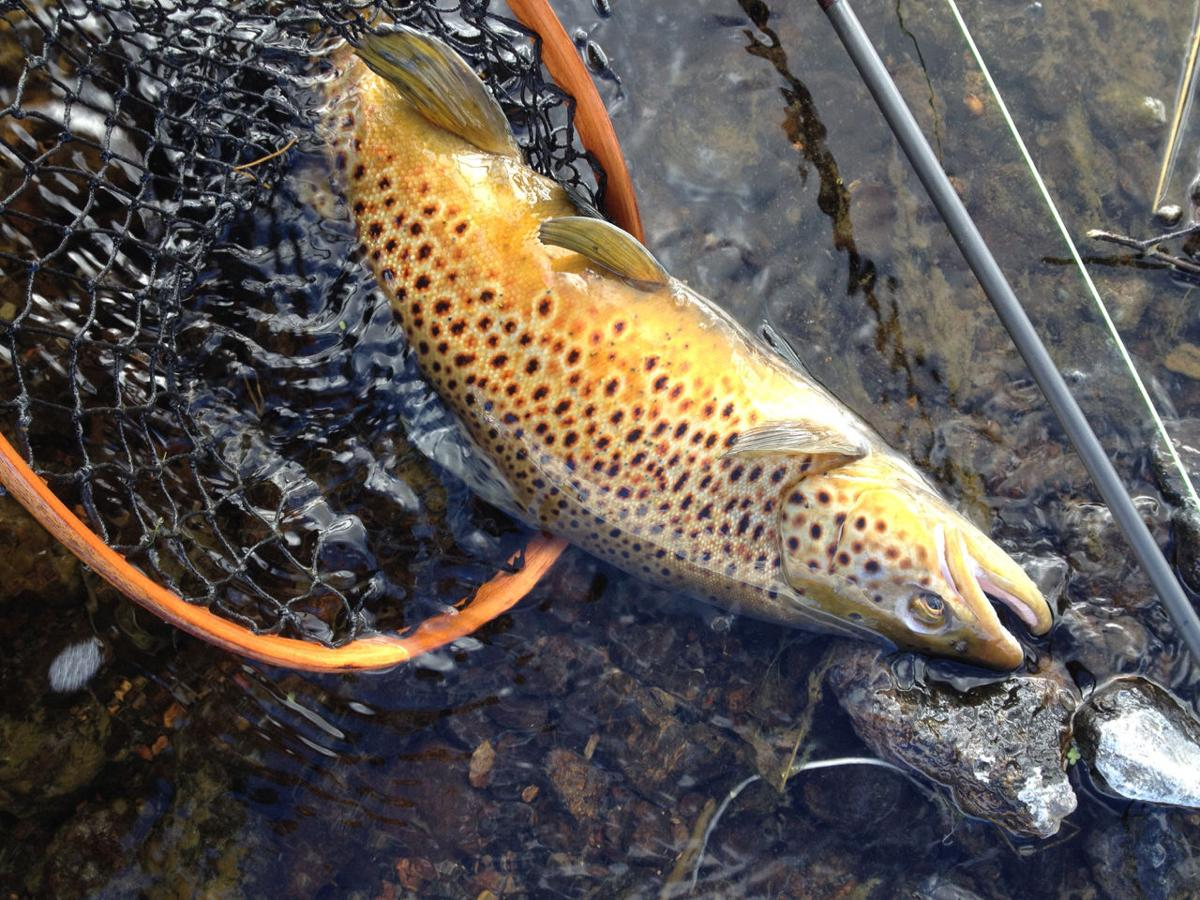 Brown trout expanding range in western Montana watersheds