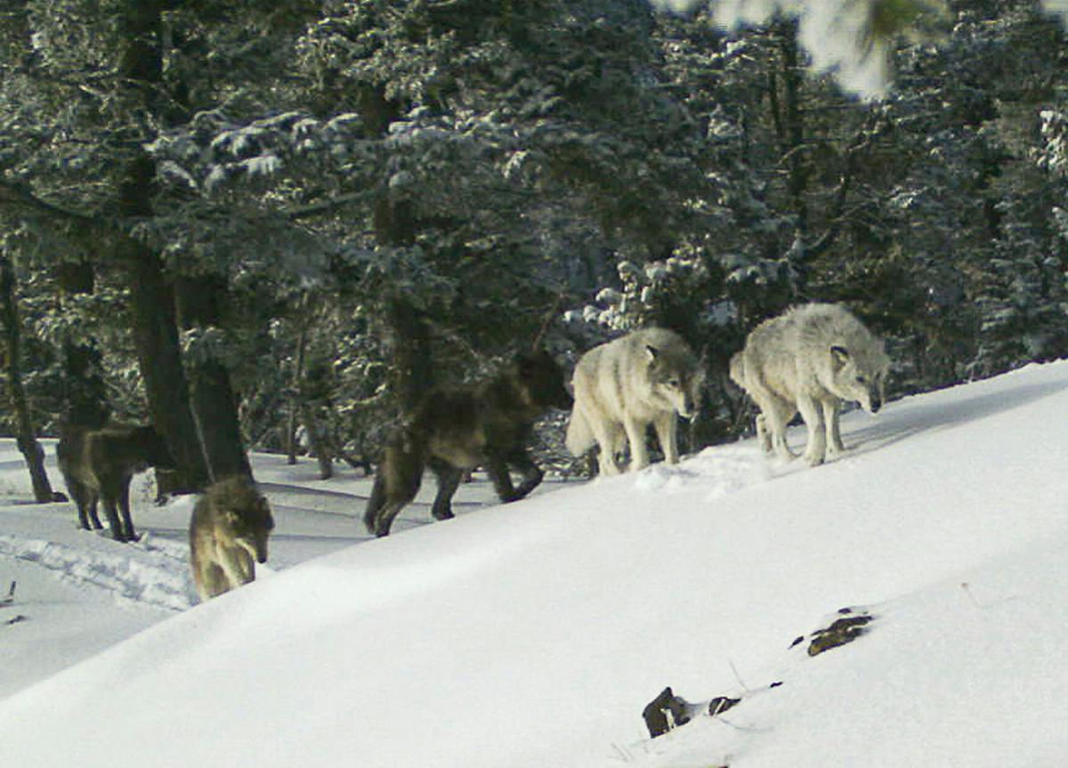 Killing Wolves
