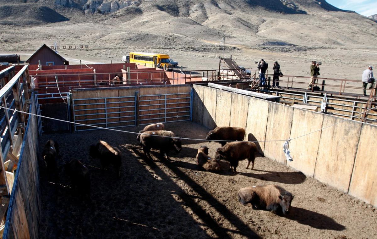 Bison capture facility
