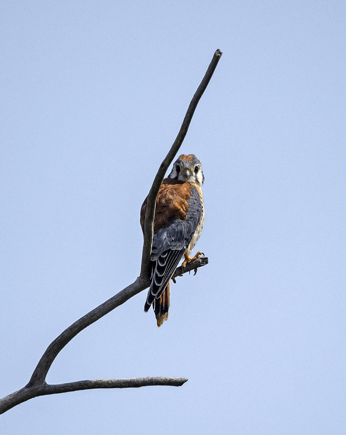 Kestrel on bare branch