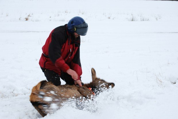 Elk study: Researchers capture, tag elk calves to document herd dynamics