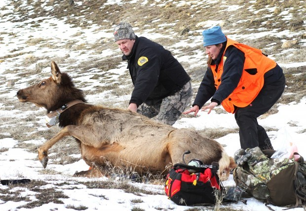 Science from above: Researchers use helicopter to capture elk for population study