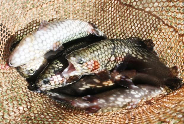 Farming fish: Hamilton couple continues operation of Bitterroot Fish Hatchery