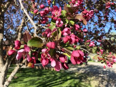 Extension Crabapple Blossoms 5 20 20
