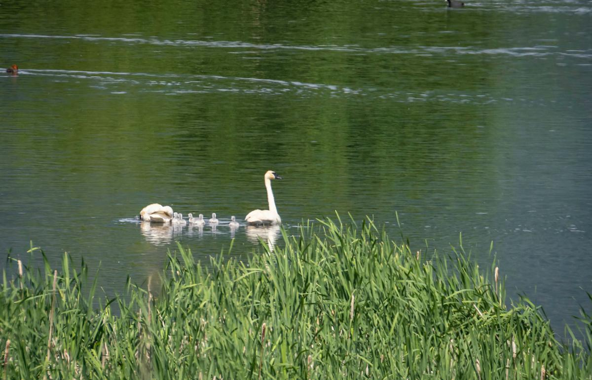 Six swan cygnets spotted at Lee Metcalf Refuge